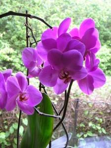 Purple-2Borchid